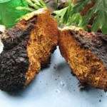 What Is Chaga And How To Get Best Chaga Tea Recipe?