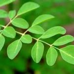 Significant Moringa Benefits Revolving Around A Better And Healthy Lifestyle